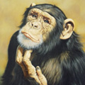 chimpanzee-thinking.jpg