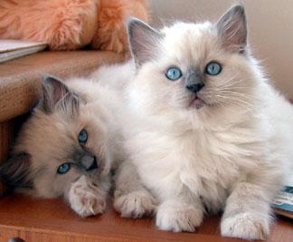 ragdoll_2_kittens.jpg